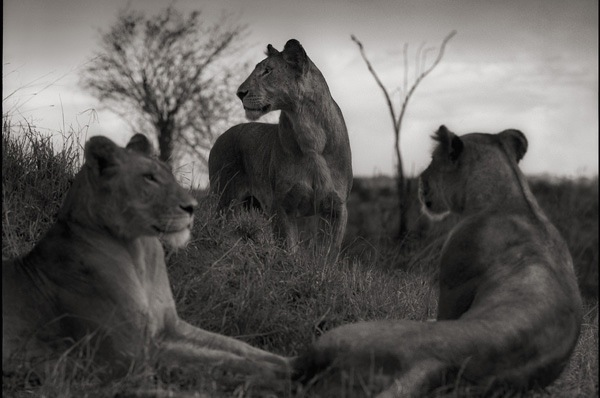 Lion Circle, Serengeti 2012 Archivall Pigment Print Signed and numbered in pencil in the margin, recto, 10 /20 61 x 76 cm (paper) 79 x 93 cm (frame)  EK: 7100,-EUR VK 8000,- EUR Rahmen: 990,- CHF http://www.artnet.com/PDB/FAADSearch/LotDetailView.aspx?Page=1&artType=FineArt&subTypeId=354